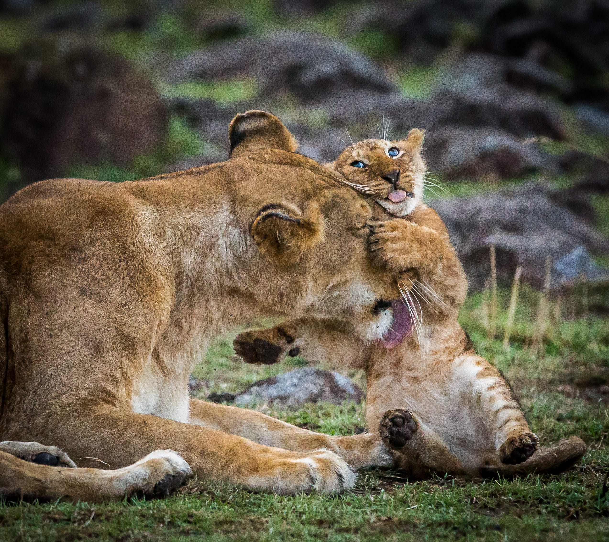Lion mama with cub photo by Phil West