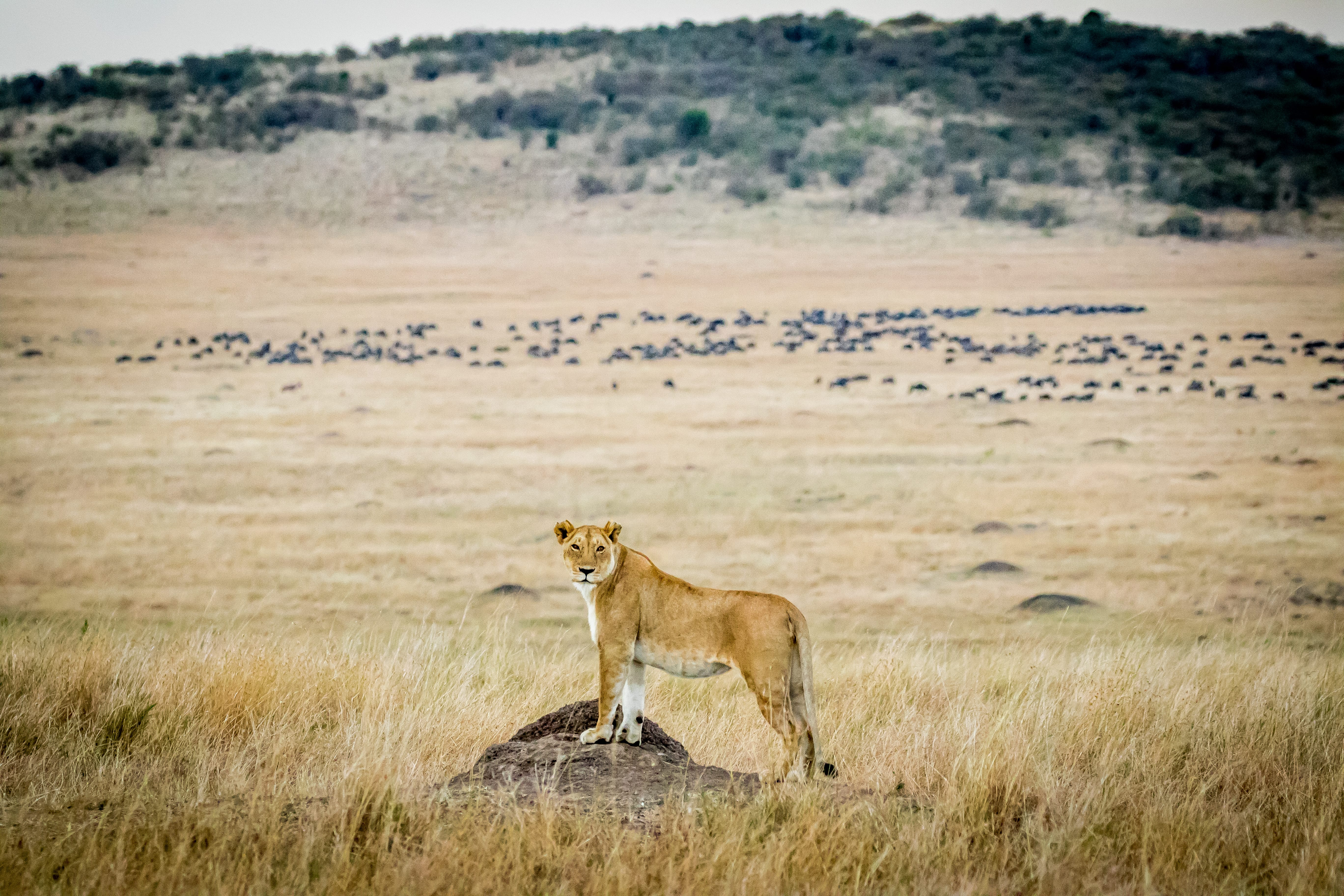 Lion on the plains of Africa