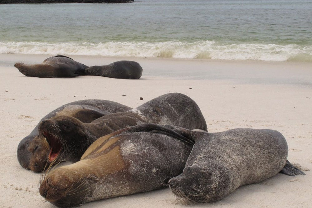 Seals on the beach Galapagos