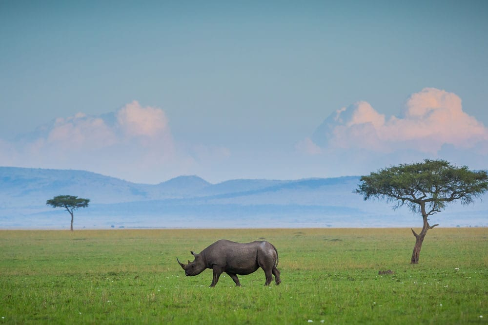 Rhinoceroses in Kenya