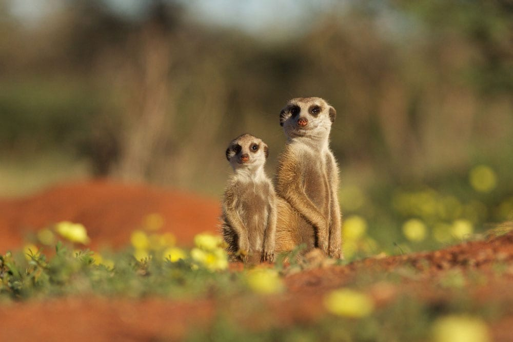 Prairie dogs at South Africa