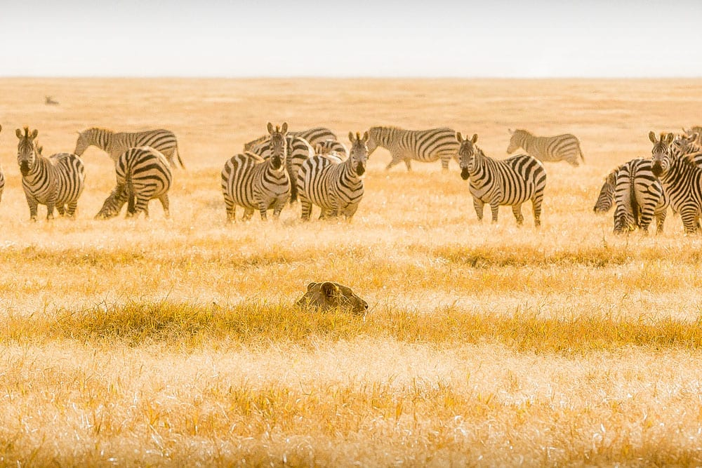 Zebras in the plans of Tanzania